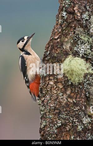 Dendrocops pic mâle adulte majeur sur la direction générale de l'Ecosse Speyside bouleau Banque D'Images