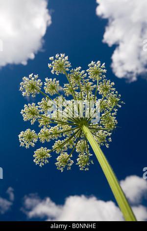 L'essor l'Angélique (Angelica archangelica ombelle). Ombelle d'angélique officinale en fleurs, au printemps. Banque D'Images