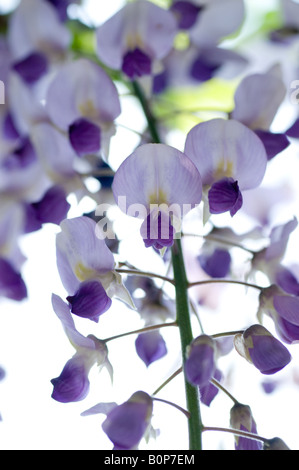 Wisteria floribunda - glycine Japonaise, Herefordshire