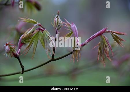 Les bourgeons des feuilles ouvrant sur Acer