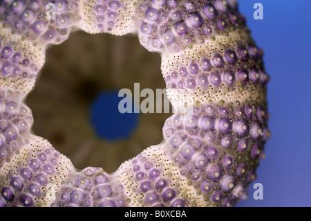 Shore, de l'oursin l'oursin de mer, à pointe de Violet Oursin (Psammechinus miliaris), l'oursin de l'exosquelette Banque D'Images