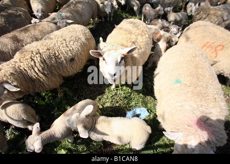Agneaux et moutons dans un enclos en attente d'être vu par un vétérinaire Banque D'Images