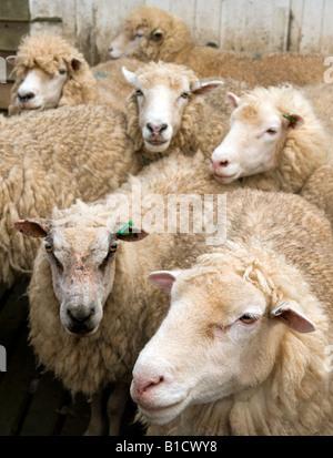 Les moutons à la plume en attente d'être tondus Banque D'Images