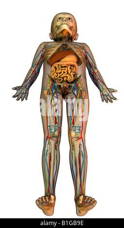 Soirée des Kindes mit Organen anatomie de l'enfant avec des organes Banque D'Images
