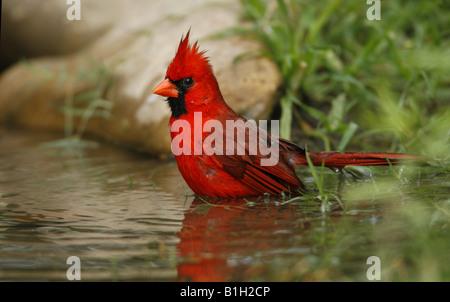 Le cardinal rouge mâle (Cardinalis cardinalis) dans un étang de baignade Banque D'Images