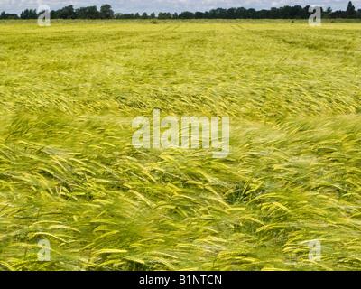 Les jeunes verts de la récolte d'orge sur le terrain dans un champs de terres agricoles se balançant dans le vent Banque D'Images