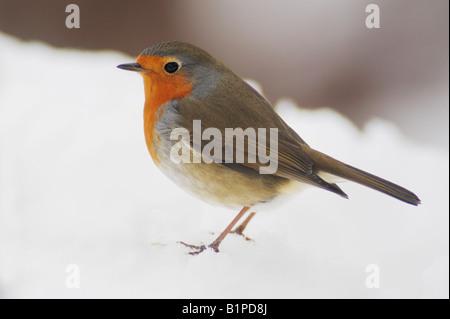 Rougegorge familier Erithacus rubecula aux abords des profils perché sur la neige Zug Suisse Décembre 2007 Banque D'Images