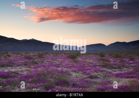 Fleurs sauvages Anza Borrego Desert State Park en Californie Banque D'Images