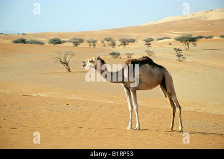 Dromadaire (Camelus dromedarius) dans le désert en face de pins, Wahiba Sands, Oman, Péninsule Arabique, au Moyen-Orient Banque D'Images