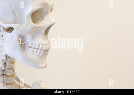 Les droits de l'homme squelette, le crâne, l'homo sapiens, l'homme, la personne, le visage, les dents, frontale, squelette