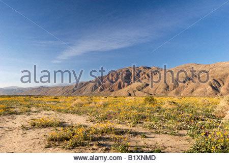 Fleurs sauvages Anza Borrego Henderson Canyon Desert State Park en Californie Banque D'Images