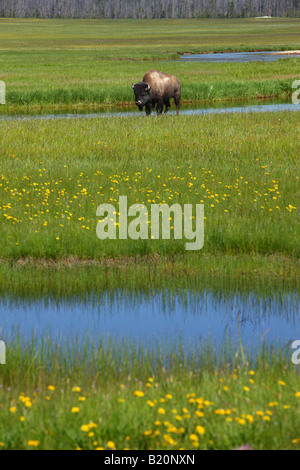 Les bisons du champ près de Madison Yellowstone National Park Banque D'Images