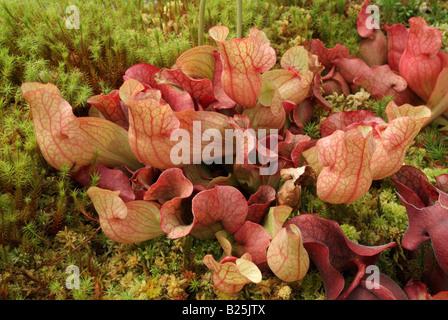 La sarracénie Sarracenia purpurea ssp. venosa