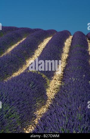 Champ de lavande sur la colline près de Valensole, Provence, France. Banque D'Images