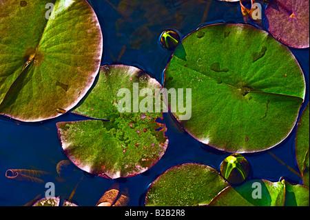 Nénuphar nénuphar et reservoir [Portrait] Banque D'Images