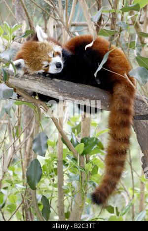 Panda rouge ou moins, Firefox (Ailurus fulgens fulgens), chambre adulte, originaire d'Asie, Chine Banque D'Images