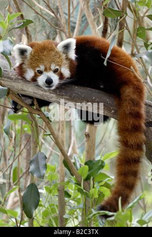 Panda rouge ou moins, Firefox (Ailurus fulgens fulgens), le repos des profils, originaire d'Asie, Chine Banque D'Images