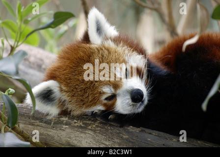 Portrait d'un panda rouge ou moins, Firefox (Ailurus fulgens fulgens), le repos des profils, originaire d'Asie, Banque D'Images