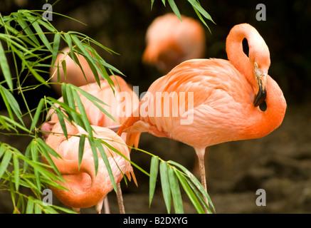 Caraïbes République dominicaine Punta Cana parc Manati flamants roses avec feuillage vert Banque D'Images