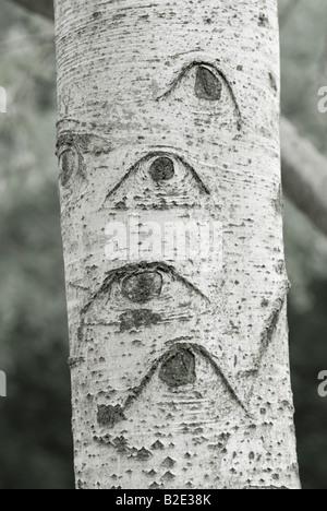 France département Gard empreintes des cicatrices de l'écorce des branches de peuplier Populus alba d'argent Banque D'Images