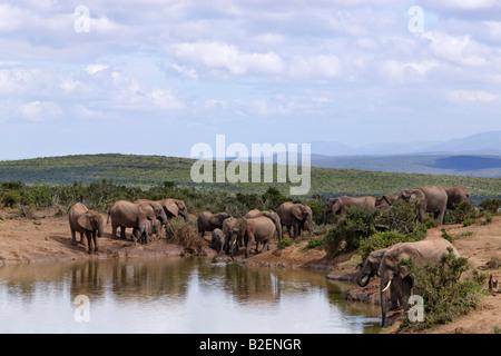 Une vue panoramique à l'éléphant de boire du bord d'un étang dans le parc national Addo Banque D'Images