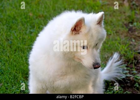 Le chien mignon pelucheux rêve blanc samoyède pose portrait of male chiot femelle frontal adultes ly pré nature extérieur pedigree