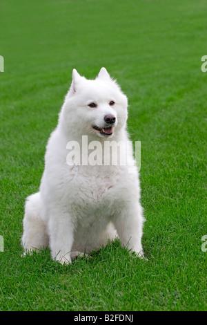 Mignon chien samoyède sitting pretty