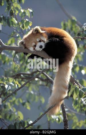 Red Panda Ailurus fulgans Centre Panda Vallée Wolong Himalaya Wolong Chine Banque D'Images