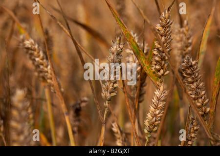Close up des chefs de blé dans un champ de blé sur une ferme dans le comté de Down en Irlande du Nord Banque D'Images