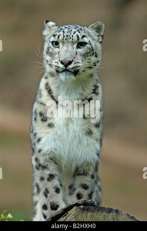 Panthera unica unica Unica Schneeleopard Snow Leopard Irbis Banque D'Images