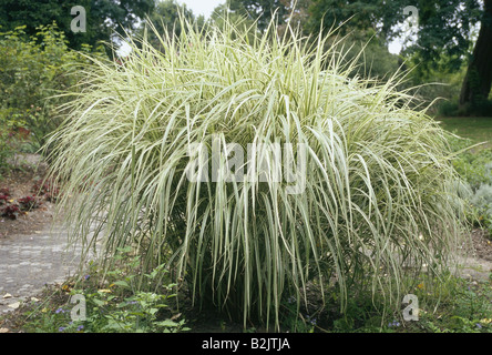 La botanique, l'herbe d'argent chinois (Miscanthus sinensis), Additional-Rights Clearance-Info-Not-Available- Banque D'Images