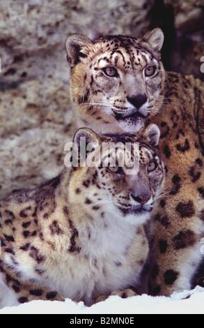 Snow Leopard Uncia uncia Once Panthera Banque D'Images
