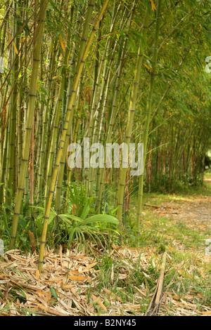Bosquet du bambou Banque D'Images