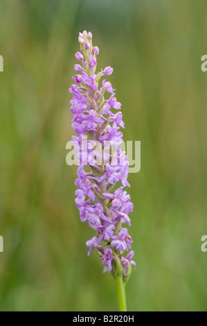 Orchidée parfumée (Gymnadenia conopsea close up de Dalby Forest flowerspike North York Moors National Park North Banque D'Images
