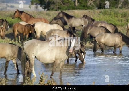 Grand groupe de chevaux sauvages pataugez dans l étang à Black Hills Wild Horse Sanctuary, le Dakota du Sud Banque D'Images