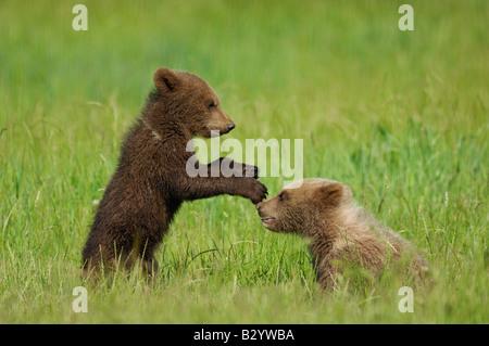 Deux oursons brun jouant dans la prairie Banque D'Images