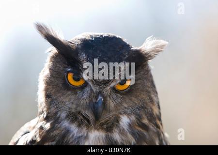 Eagle Owl Bubo bubo eurasien Allemagne Bavière Banque D'Images