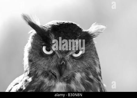 Eagle Owl Bubo bubo eurasien Banque D'Images