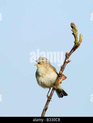 Phylloscopus collybita dans « récent chanson Claj Norfolk Avril Banque D'Images