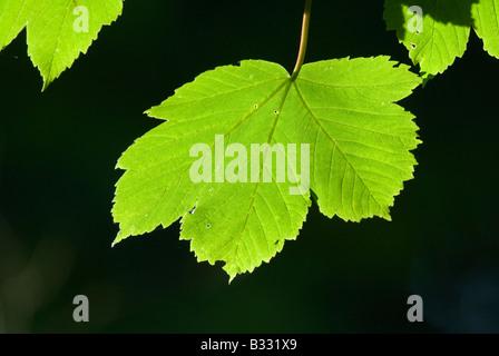 Les feuilles de platane au printemps Avril Norfolk Banque D'Images