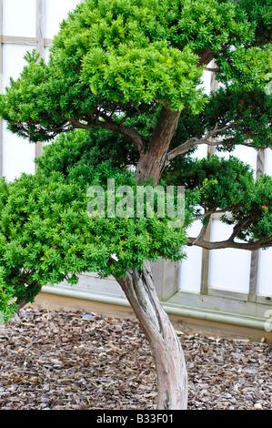 Bonsai Taxus cuspidata if japonais 65 ans