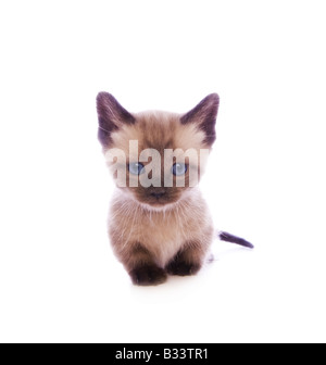 Mignon chaton Munchkin avec grand chef isolé sur fond blanc