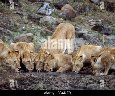 Kenya, district de Narok, Masai Mara National Reserve. Une troupe de lions des boissons à partir d'une piscine boueuse dans la réserve de Masai Mara.