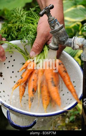 Lave-jardinier carottes biologiques cultivés sur nantes début dans une passoire à fontaine jardin août Royaume-uni Banque D'Images