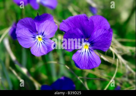 Prairie alpine violet. Alpes Suisse Suisse Europe Banque D'Images