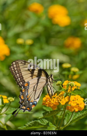 Photo d'un Easter Tiger Swallowtail butterfly Banque D'Images