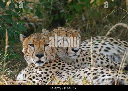 Deux Cheetah reposant à l'ombre, Masai Mara, Kenya Banque D'Images
