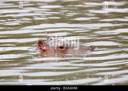 Baby hippo Hippopotamus amphibius Serengeti Tanzanie Banque D'Images