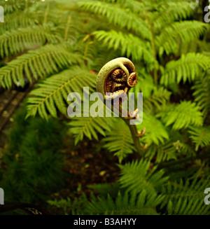 New Zealand Fern frond nouveau déploiement en août printemps de l'hémisphère sud Banque D'Images