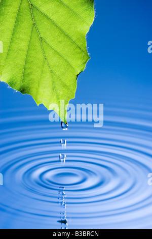 Les gouttelettes d'eau tombant de la feuille à l'origine de rides. Feuille d'hêtre. Banque D'Images